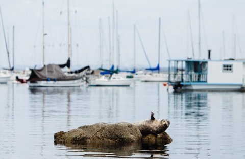 Monterey Bay Harbor Seal Waving