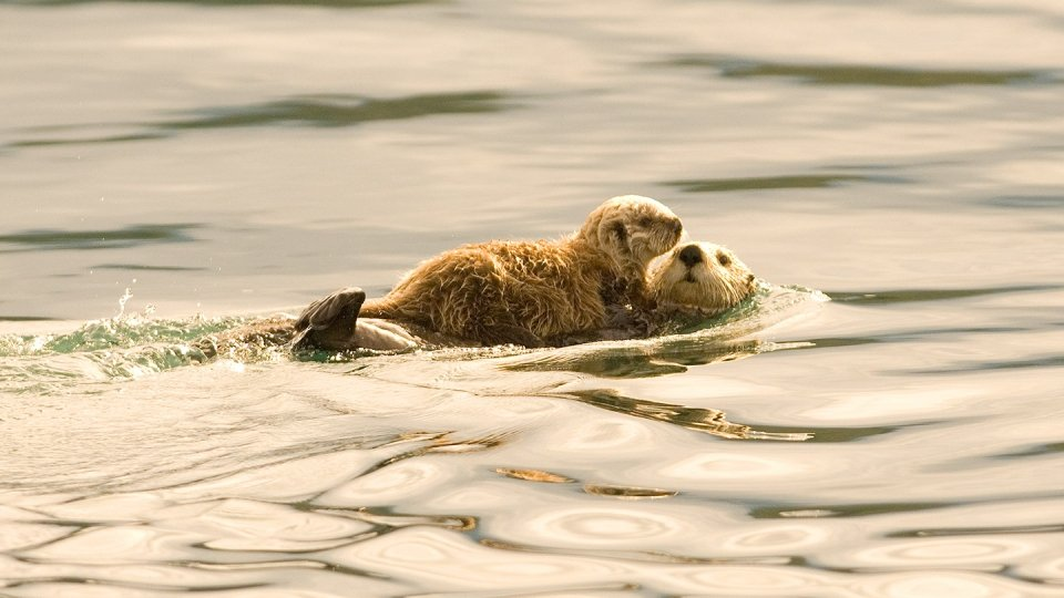 A mother sea otter and her baby swim in the waters of Monterey Bay.