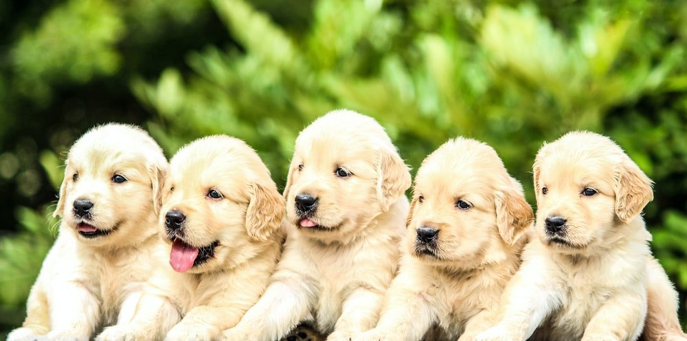 Five Golden Reetriever Puppies sitting in a row outside.