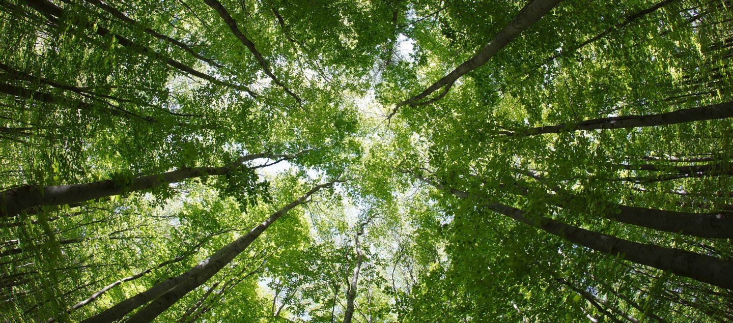 Photo of a canopy of trees, taken from below