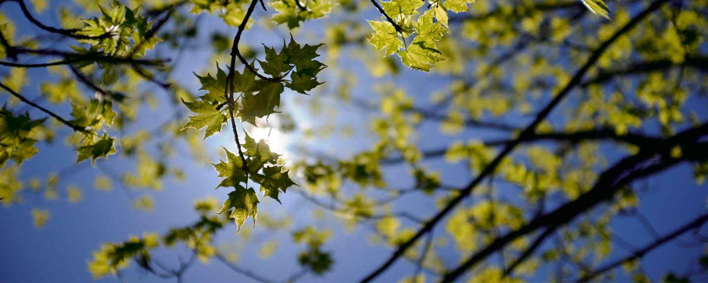 The branches of a tree with little leaves with the sky and sun in the background.