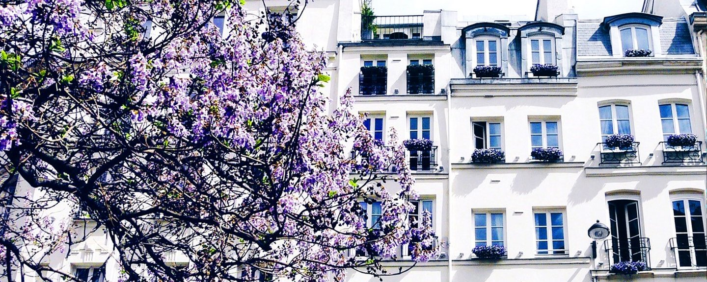 Purple flowering tree in front of white building