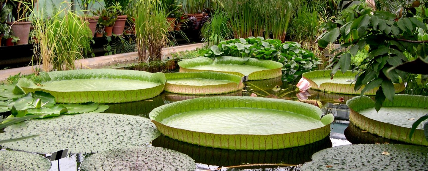 A pond in a bontanical garden with large lily pads floating on the surface.